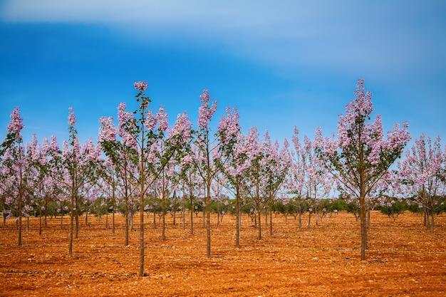 Плантации деревьев павловнии на майорке