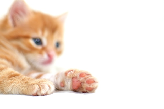 Paw close-up beautiful bright ginger kitten on a white background plays. young cute little red kitty. long haired ginger kitten play at home. cute funny home pets. space for text