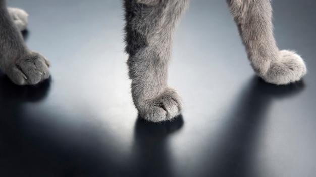 Лапа серого кота крупным планом. домашние животные и млекопитающие