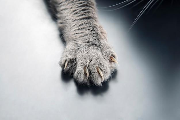 Лапа серого кота крупным планом