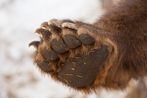 Paw with claws brown bear