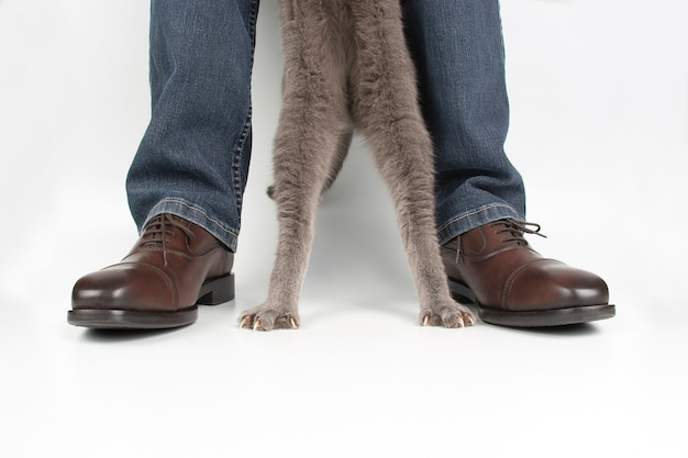 Paws of a gray cat next to his legs in classic shoes on a white background