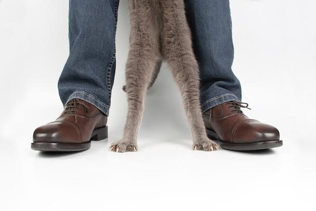 Лапы серого кота рядом с его ногами в классической обуви на белом фоне