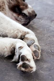 Paws of a sleeping white central asian shepherd (alabai) closeup