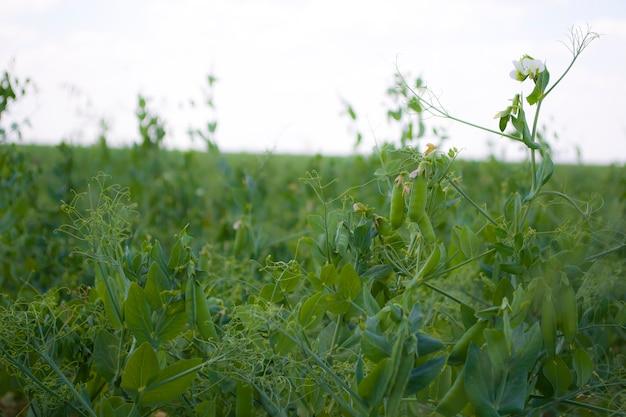 Гороховые бобы на растениях в поле на фоне чистого солнечного неба