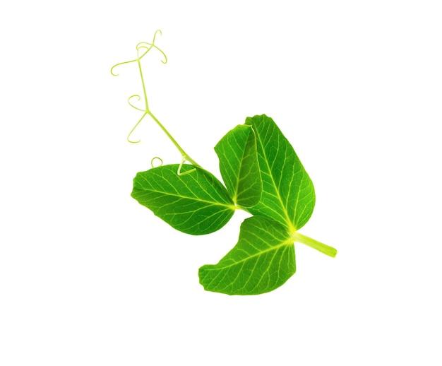Лист гороха с усиком, изолированные на белом фоне. молодой зеленый росток.
