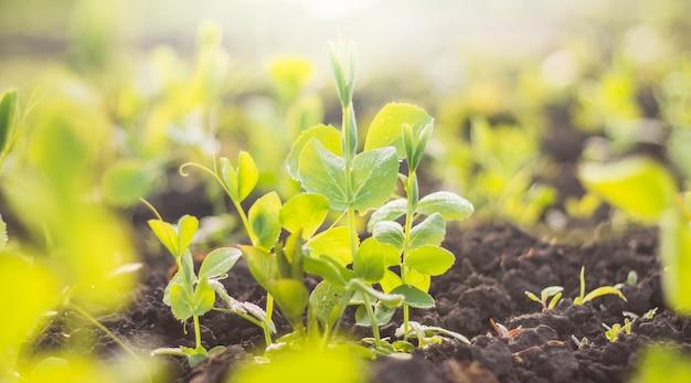 검은 토양에 이슬 비가 내린 후 완두콩 식물 콩 녹색 잎. 봄 시간에 가정 재배 야채.