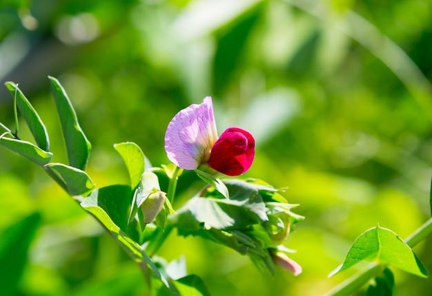 완두콩 식물 꽃입니다. 햇빛에 녹색 완두콩 식물입니다.