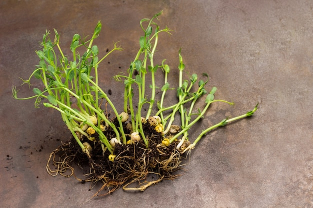 완두콩은 뿌리와 흙으로 자랍니다. 녹슨 금속 배경입니다. 평면도. 공간 복사