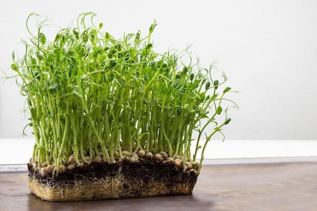 완두콩은 뿌리가 있습니다. 확대. 자라는 완두콩 씨앗.