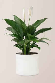 흰 냄비에 평화 백합 식물