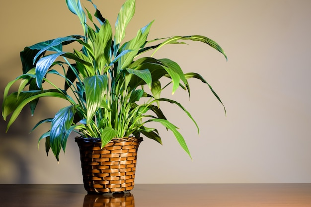 Peace lily planted in wicker basket