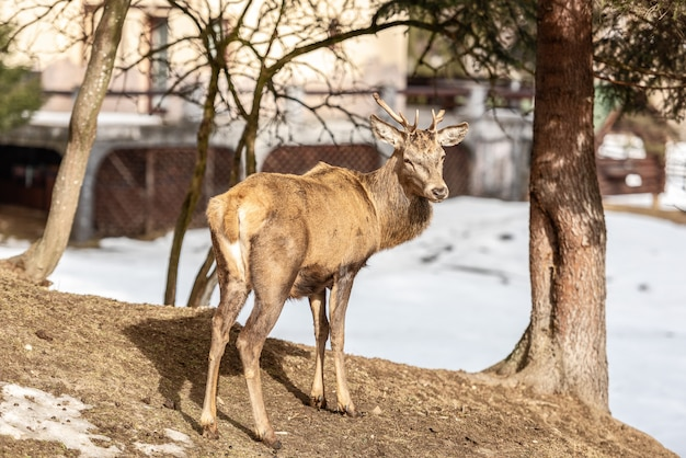 Peaceful deer resting under a tree in winter time, cold winter day