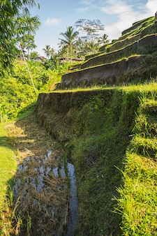 Peaceful landscape of exotic nature on island and organic agriculture, rice growing on tropical fields