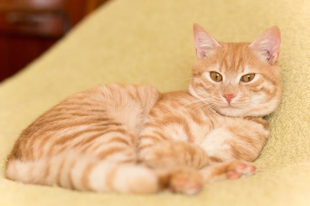 毛布の上で眠っている平和なオレンジ色の赤毛の猫のオスの子猫