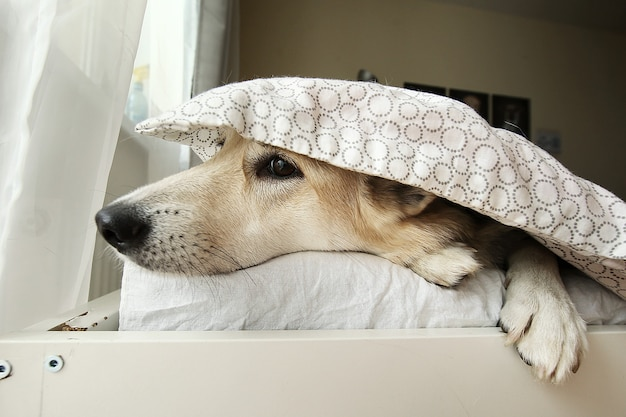 Peaceful shepherd dog having rest on bed under blanket and looking away at home