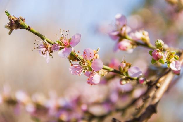 Цветение персика с размытым фоном в августе