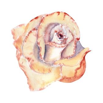 복숭아빛 장미, 오픈 버드. 수채화 그림입니다. 클립 아트 흰색 배경에 고립입니다. 초대장, 엽서 등에 사용할 수 있습니다.