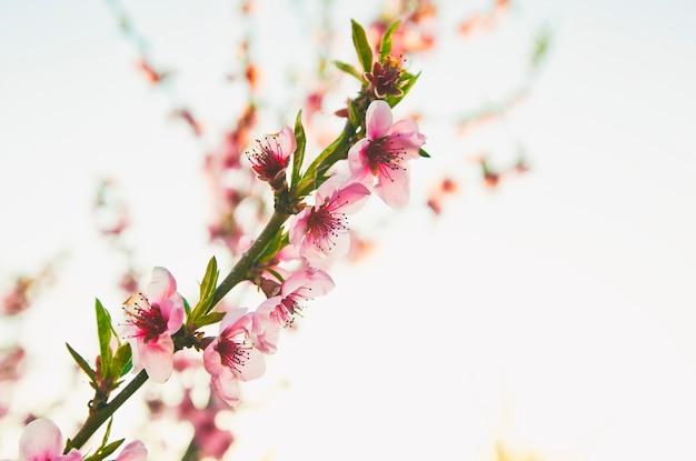 枝に咲く桃の花