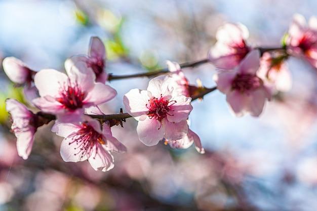 봄의 복숭아 꽃, 매크로 렌즈로 촬영한 이미지