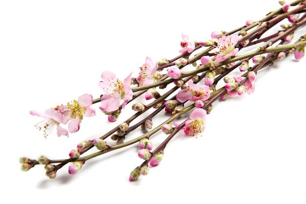 복숭아 꽃은 흰색 배경에 고립