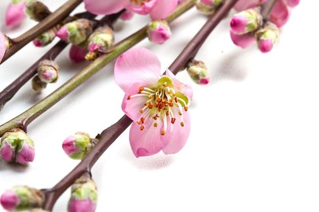 白い背景で隔離の桃の花