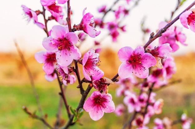 Ветви плодового дерева персика во время цветения с цветами