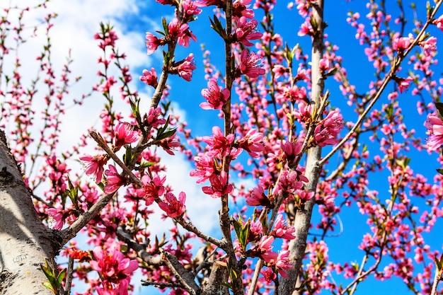 花で開花中に桃の果樹の枝