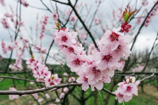 Peach fruit tree branches during flowering with flowers