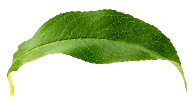 Листья персика изолированные на белой предпосылке с путем клиппирования.