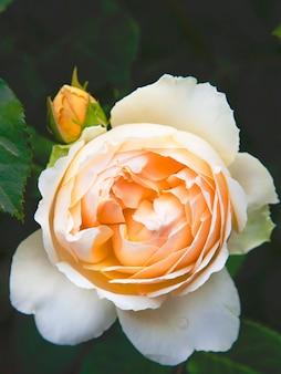 桃牡丹バラの花。