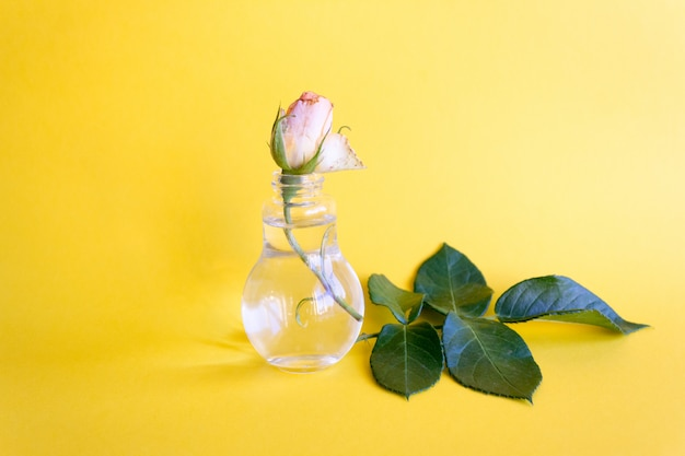 Peach rose bud in a glass vase