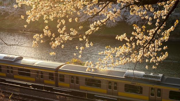 도쿄의 복숭아 나무 꽃