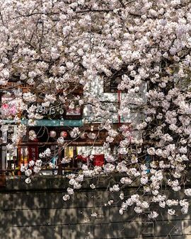 Peach tree blossom in japan