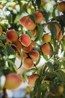 낮 동안 나무에 복숭아 열매