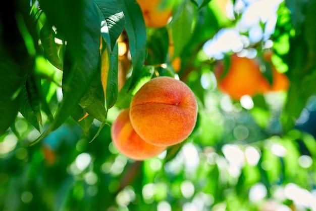 Персики на дереве, спелые летние персики, растущие в саду, концепция выращивания, садоводства