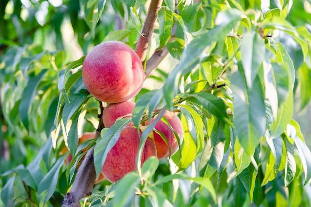 木の枝に桃。外の庭の桃の木に熟した桃を収穫します。園芸における果樹の肥沃度の豊富さ。