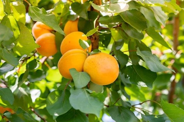 Peaches tree. close up fresh peaches on a branch in rural landscape. peach juice promo
