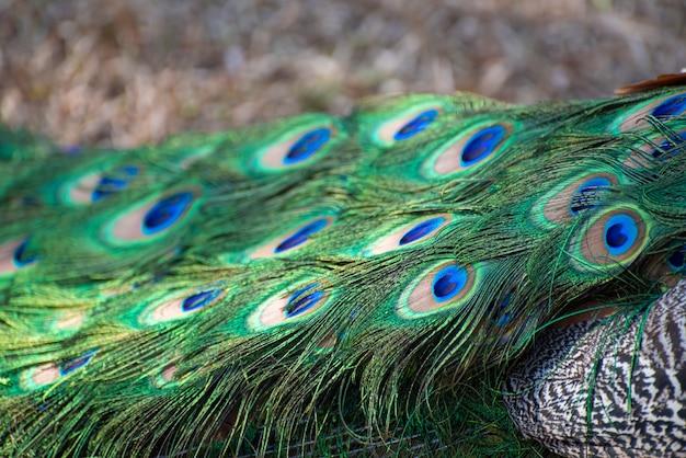 공작, 색상과 자연의 모든 세부 사항을 자랑하는 아름다운 공작. 자연광, 선택적 초점.