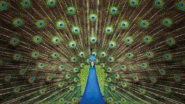 Peacock bird show vibrant green color of feathers