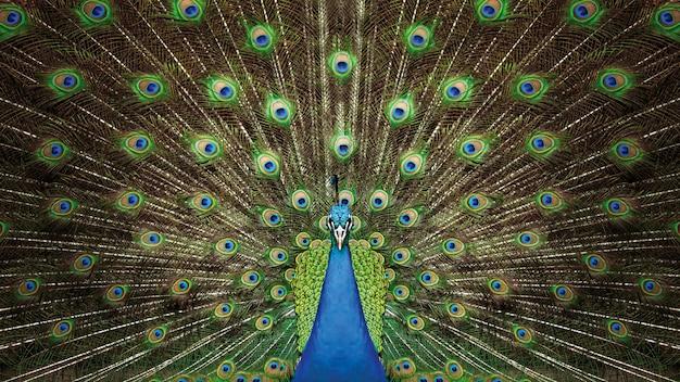 孔雀の鳥は羽の鮮やかな緑色を示します
