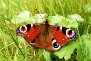 Павлин бабочки, бабочка