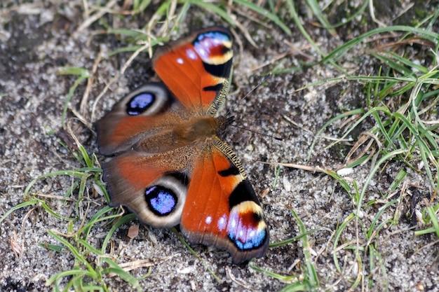 공작 나비 (inachis io) 휴식