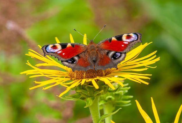 Павлинья бабочка на желтом цветке