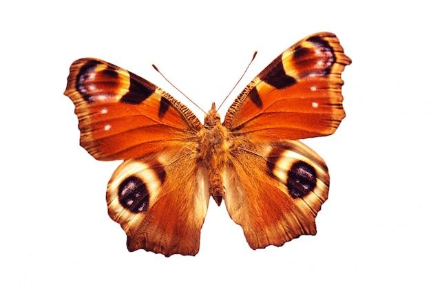 Бабочка павлин