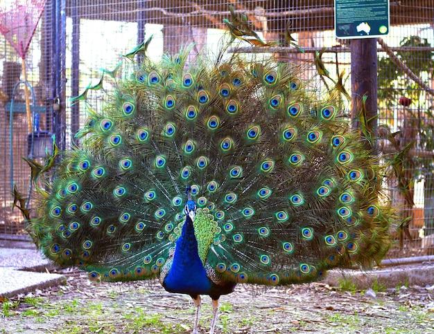 ピーコックは青緑色の色合いの美しい大きな尻尾を片付けました