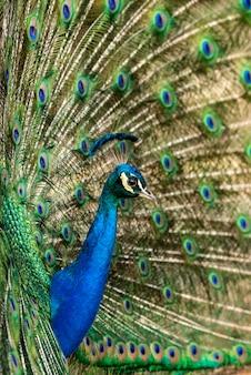 화려한 깃털을 자랑하는 공작.