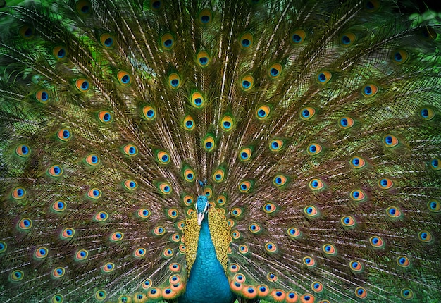 Peacock displays his beautiful tail