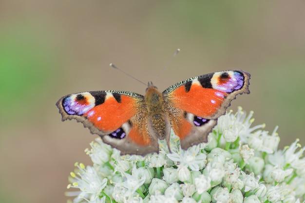 Peacock eye butterfly sitting on allium flower against green nature