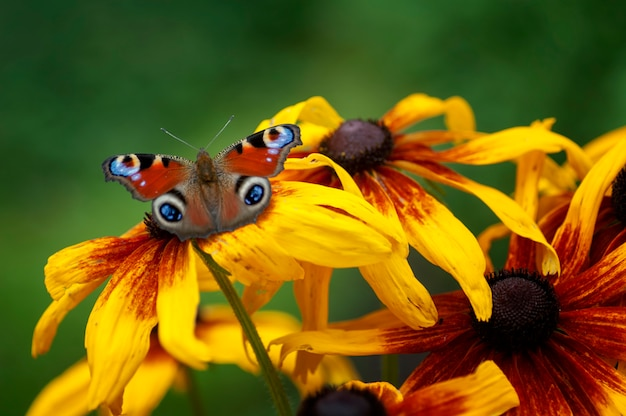 Peacock eye butterfly, sitting on the rudbeckie flower